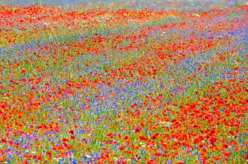 fioritura-di-castelluccio-di-norcia-sibillini-2